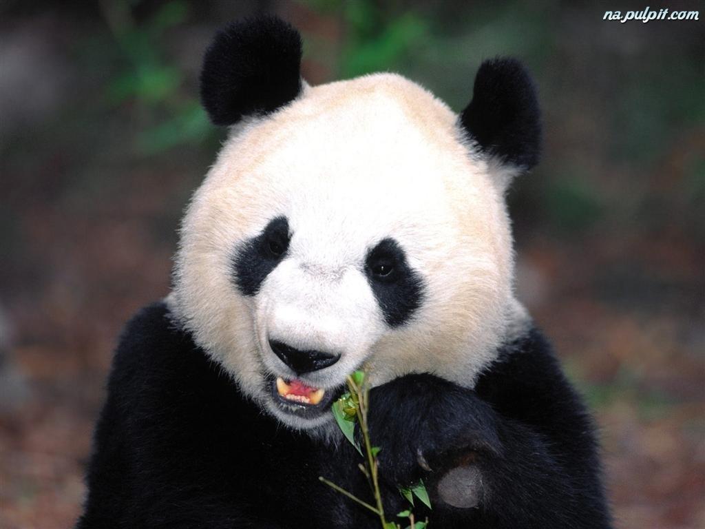 [Obrazek: mis-maly-panda.jpeg]